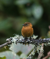 Cinnamon Flycatcher; Pyrrhomyias cinnamomeus; in cloud forest; Ecuador, Prov. Zamora-Chinchipe, Tapichalaca Biological Reserve