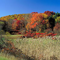 Scenic autumn landscape of trees covered with colorful fall foliage in contrast to a cloudless blue sky. Harriman State Park, New York.
