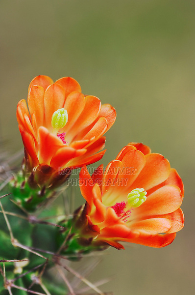 Claret Cup Cactus, Echinocereus triglochidiatus, blooming, Uvalde County, Hill Country, Texas, USA