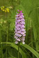 "Pictured: A heath spotted orchid (Dactylorhiza maculata). STOCK PICTURE<br /> Re: Bungling council gardeners have cut down a rare orchid that had been blossoming in Conwy for the last four years.<br /> Retired geologist Jeff Walters had been photographing the heath spotted orchid for years and was ""devastated"" when it disappeared this week.<br /> Conwy Council have defended themselves, saying there was ""no evidence"" of the plant in the flower bed at the council's headquarters in Bodlondeb.<br /> But Mr Walters, who lives in Conwy, said he found the discarded leaves of the orchid in a heap of weeds nearby."