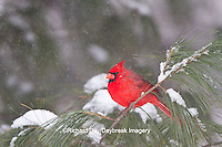 01530-21206 Northern Cardinal (Cardinalis cardinalis) male in white pine tree in winter, Marion Co., IL