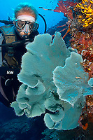 A diver examines a blue sponge growth, Otto's point, Walindi, Kimbe bay, Bismark sea, Pacific ocean, Papua New Guinea, Asia