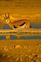 Springbok at a watering hole, Etosha National Park, Namibia