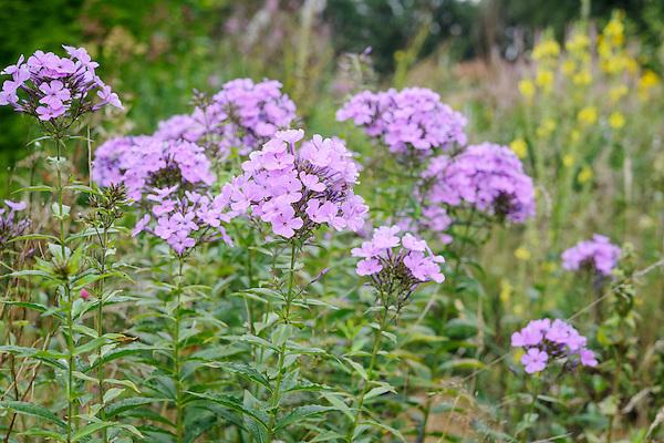 Phlox paniculata 'Luc's Lilac'