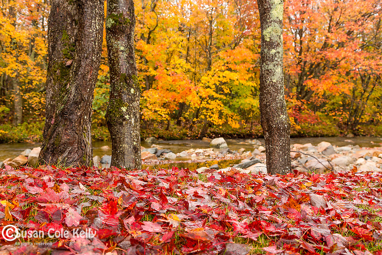 Fall foliage along the Wild Ammonoosuc River in the White Mountain National Forest, New Hampshire, USA