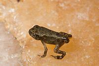 American Toad; Bufo americanus; toadlet metamorphosing; PA, Philadelphia, Schuylkill Center