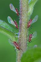 Red Goldenrod Aphid; Uroleucon nigrotuberculatum; on goldenrod; PA, Philadelphia; Wissahickon Park, Houston Meadow;