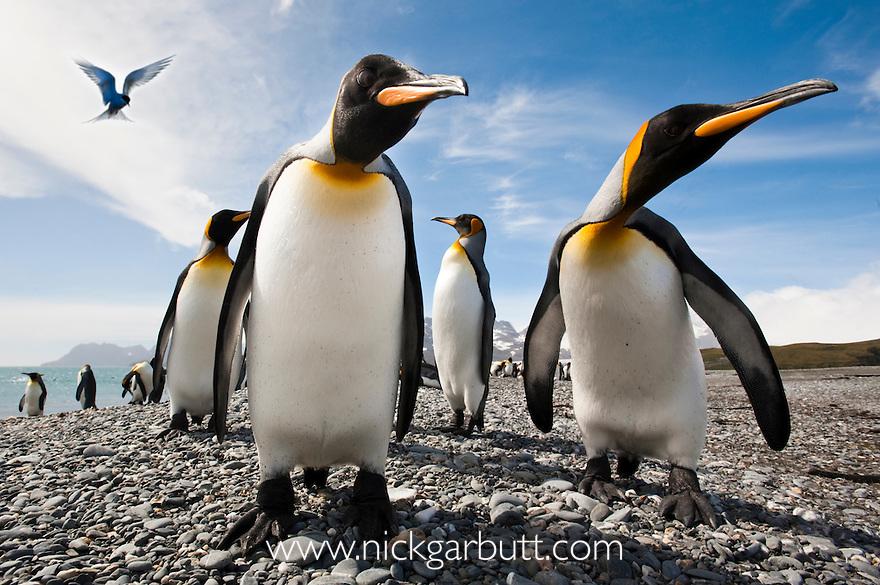King Penguins (Aptenodytes patagonicus) on the beach at Salisbury Plain, with Antarctic Tern (Sterna vittata) hovering. South Georgia, South Atlantic.