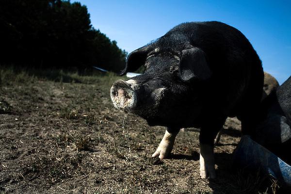 September 13, 2007, Louisburg, NC..One of the male stud hogs at Mae Farms, a free range, sustainable hog farm near Henderson, NC.