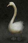 white swan standing alone against a dark ackground