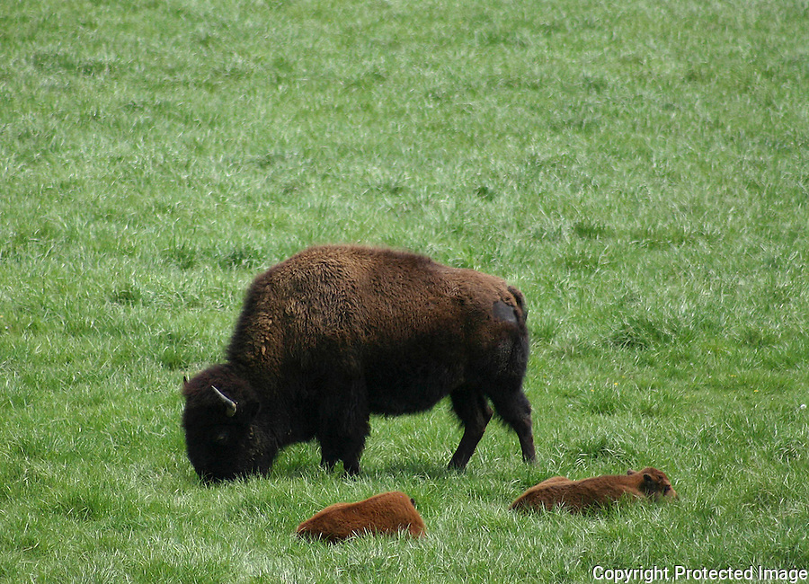 Buffalo Grazing with Two Resting Foals