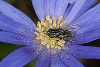Große Stubenfliege, Gewöhnliche Stubenfliege, Gemeine Stubenfliege, Fliege, Weibchen, Blütenbesuch, Nektarsuche, Bestäubung, Musca domestica, house fly
