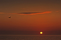 Seagull flies across horizon at sunset
