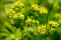 Alpine Sun Spurge
