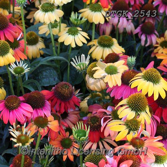 Gisela, FLOWERS, BLUMEN, FLORES, photos+++++,DTGK2543,#f#, EVERYDAY
