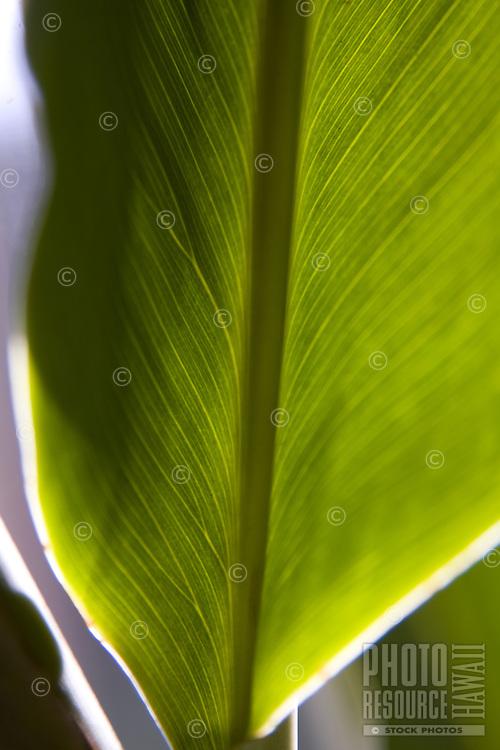Close up of a backlit leaf of a red ginger plant