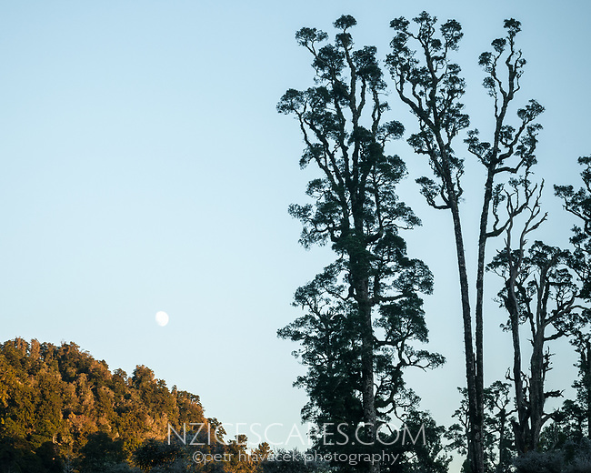 Moonset with kahikatea trees near Lake Wahapo, Westland Tai Poutini National Park, West Coast, UNESCO World Heritage Area, New Zealand, NZ
