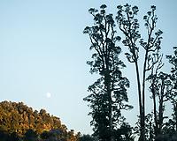 Moonset with kahikatea trees near Lake Wahapo, Westland Tai Poutini National Park, West Coast, UNESCO World Heritage Area, New Zealand, NZ