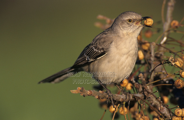 Northern Mockingbird, Mimus polyglottos, adult eating berry from Chinaberry Tree (Melia azedarach), Lake Corpus Christi, Texas, USA