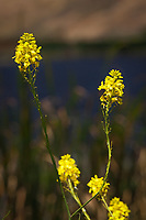 Yellow wildflowers glow against a soft background at the Coyote Hills Regional Park, Fremont, California.