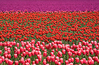 Commercial agriculture fields with bands of tulip bulb flowers in colorful blocks of red, pink and violet at Tulip Festival,