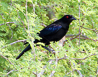Male bronzed cowbird. The male birds were in full courtship mode: puffing up and dragging their wings and flying up four or five feet to helicopter for a minute or more over the females. The ladies seemed to be unimpressed.