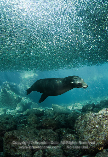 QT7388-D. California Sea Lion (Zalophus californianus) swimming under school of Bigeye Scad (Selar crumenophthalmus), upon which it's feeding. Baja, Mexico, Sea of Cortez, Pacific Ocean.<br /> Photo Copyright &copy; Brandon Cole. All rights reserved worldwide.  www.brandoncole.com