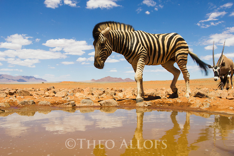Namibia, Namib Desert, Namibrand Nature Reserve, zebra (Equus burchelli) and oryx  at water hole