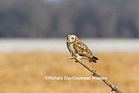 01113-02009 Short-eared Owl (Asio flammeus) Prairie Ridge State Natural Area Marion Co. IL