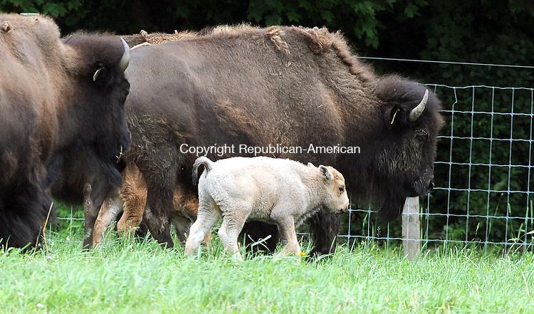 GOSHEN, CT-23 JUNE 2012--062612JS03-A white buffalo calf was born on Peter Fay's Mohawk Buffalo Inc. farm in Goshen on June 16th. . Jim Shannon Republican-American