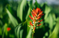 Indian paintbrush and corn lily, hanging gardens above Tuolumne Meadows, Yosemite.