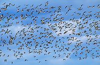 537213617 wild canadian geese branta canadensis in flight over klamath national wildlife refuge california