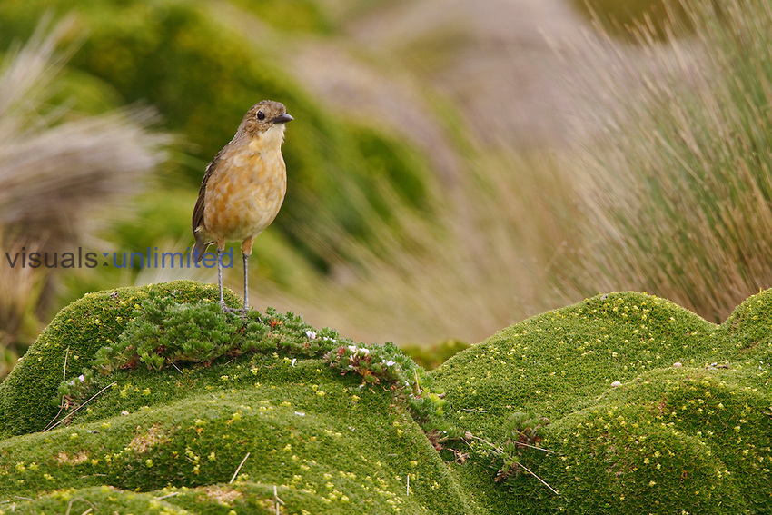 Tawny Antpitta (Grallaria quitensis) perched on Paramo vegetation in the highlands of Ecuador.