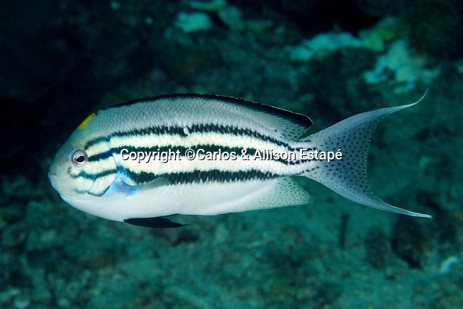 Genicanthus lamarck, Blackstriped angelfish, Raja Ampat, Indonesia