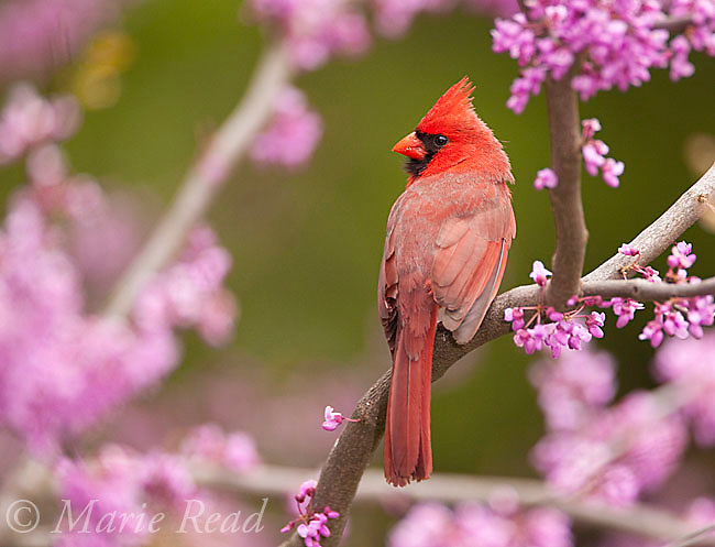 Northern Cardinal (Cardinalis cardinalis), male perched in flowering redbud in spring, New York, USA