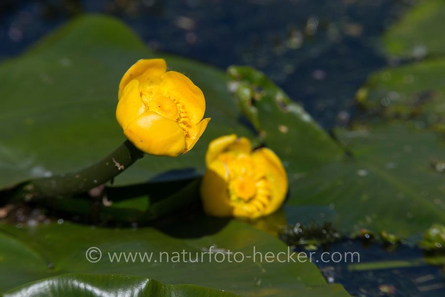 Gelbe Teichrose, Mummel, Nuphar lutea, Brandy Bottle, Yellow Pond Lily, Yellow Water Lily, Nénuphar commun, Schwimmblatt-Pflanze, Schwimmblattpflanze