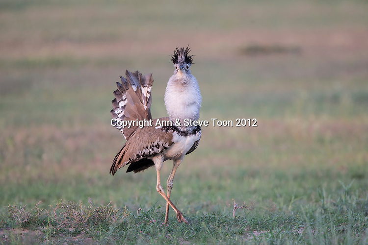 Kori bustard (Ardeotis kori) male courtship display, Kgalagadi Transfrontier Park, Northern Cape, South Africa, February 2017