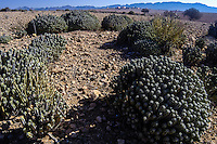 Cactus. Arid landscape south of Agadir, Morocco.