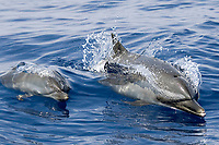 Pantropical spotted dolphins, Stenella attenuata, riding boat wake, Kona Coast, Big Island, Hawaii, USA, Pacific Ocean