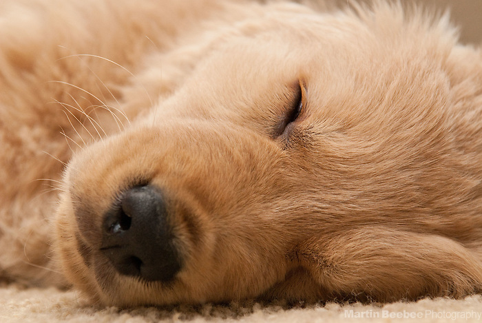 An eight-week-old golden retriever puppy sleeps on the floor