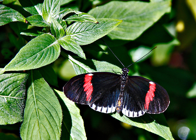 Small Postman, known by a variety of names (see Keywords) sits full-wing spread on a green bush showing off its beautiful bright red bands on the fore-wings and the white banding along the edge of the rear-wings.