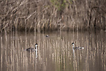 Lake Hodges, Escondido, San Diego, California; a pair of Western Grebe (Aechmophorus occidentalis), with breeding plumage, swimming amongst the reeds near the shoreline