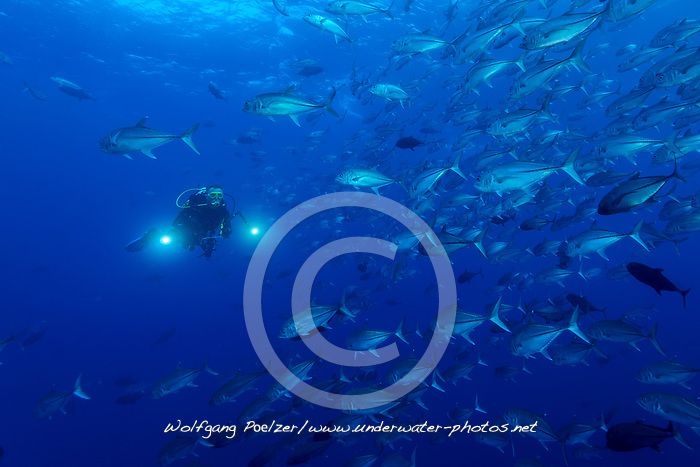 Caranx sexfasciatus, Grossaugenmakrele, Schule von Grossaugenmakrelen und Taucher, Bigeye trevally, School of Bigeye trevallies and scuba diver, Insel Cocos, Costa Rica, Pazifik, Pazifischer Ozean, Cocos Island, Costa Rica, Pacific Ocean, MR Yes