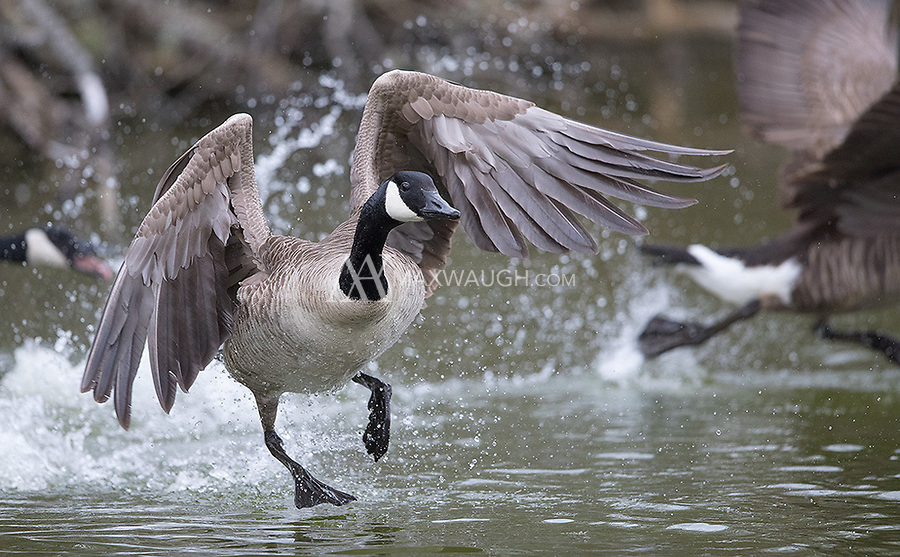 Male geese were being pretty aggressive, chasing and attacking rivals.