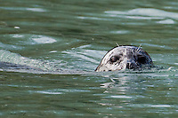A harbor seal lurks the Kenai River in search of salmon.