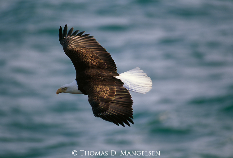 A Bald Eagle soars over choppy water.