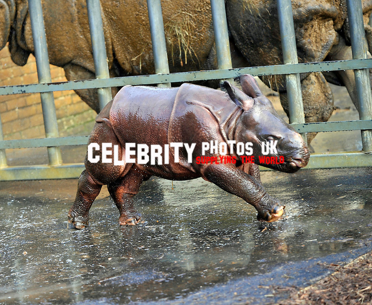 Jamil, the four week old Greater One Horned Rhinosauras made its  first public appearance and has its first shower as keepers at the zoo do  their annual stocktake at Whipsnade Zoo on January 8, 2013 in Dunstable, England.  .Picture By: Brian Jordan / Retna Pictures.. ..-..