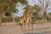Two giraffes getting ready to copulate in the Okavango Delta, Botswana Africa..