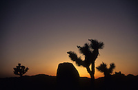 Joshua Tree Silhouette - Joshua Tree NP, California