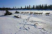 Jeff King runs past a stump and moose tracks on the Unalakleet river  nearing Unalakleet